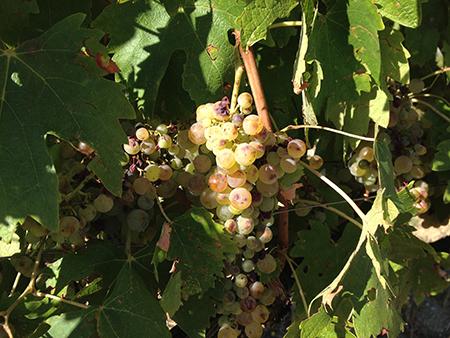 ヴェルナッチャディサンジミニャーノの葡萄
