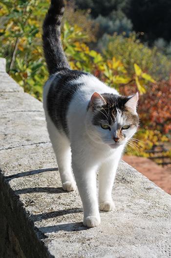 トスカーナの猫
