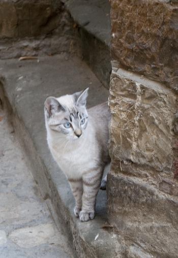 モンテフィオラッレの猫