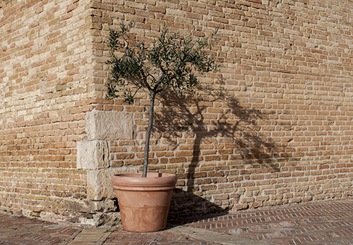 サンジミニャーノのオリーブの鉢植え