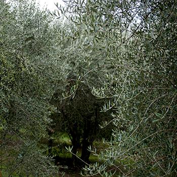 オルチャ渓谷のオリーブの木