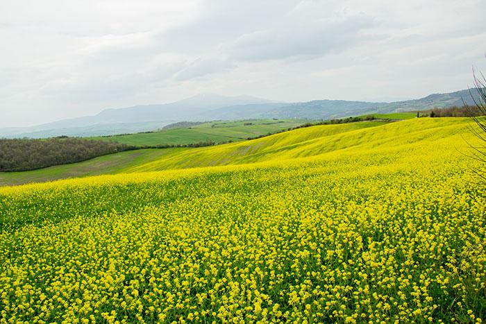 オルチャ渓谷の黄色い花の眺め