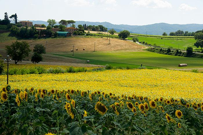 ひまわり畑と小麦畑