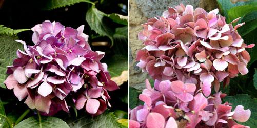 チヴィタバーニョレージョ紫陽花