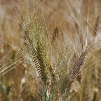 オルチャの小麦