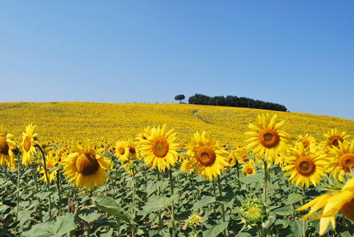 8月のトスカーナの向日葵
