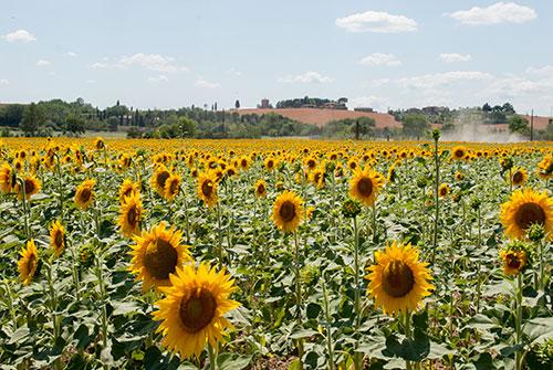 トスカーナの向日葵畑