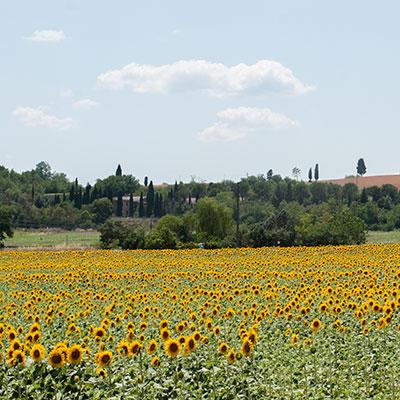 トスカーナの向日葵の季節