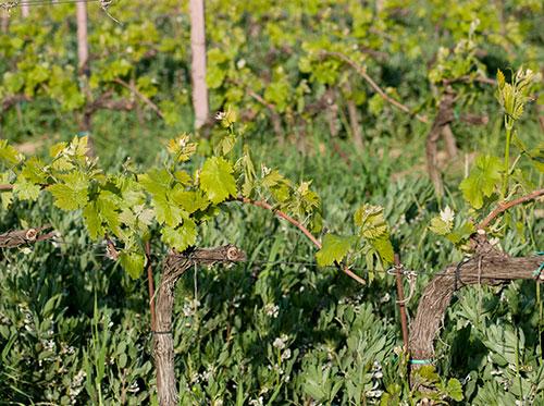 トスカーナのワイン用葡萄畑