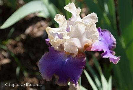 アイリス白紫