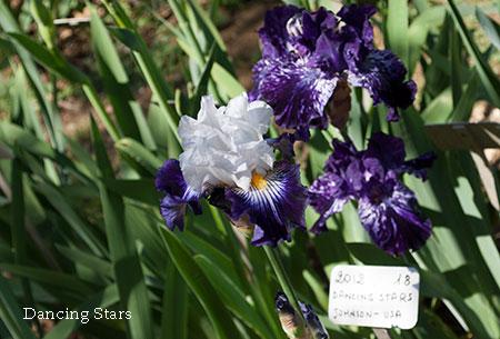 アイリス白と紫