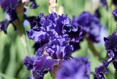 アイリス紫