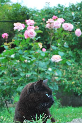薔薇と黒猫